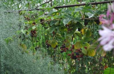 Blackberries in june essay