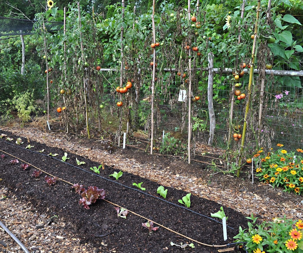 Soil For Tomatoes: No-Till & Compost, And Still Problems