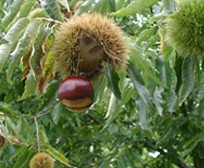 chestnuts-400x329