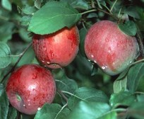 malus Liberty