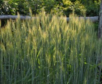 wheat-in-garden-400x329