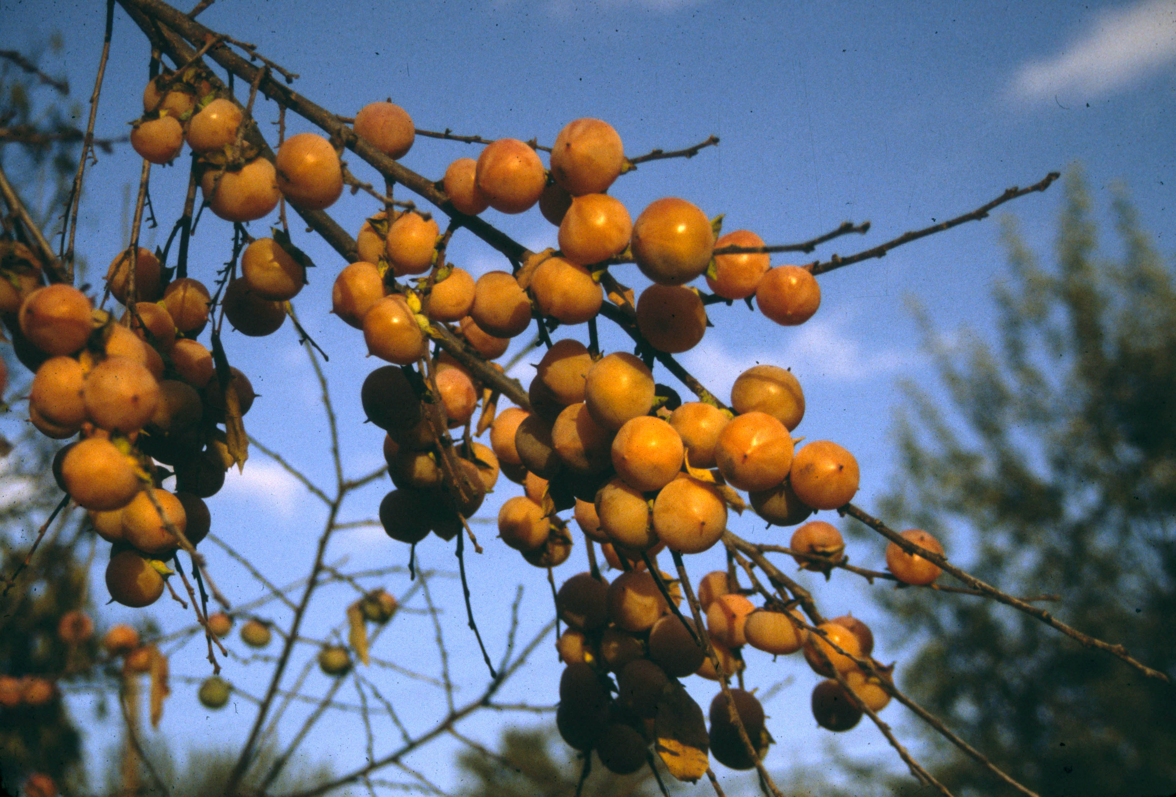 Szukis persimmons ready to eat even from leafless branches