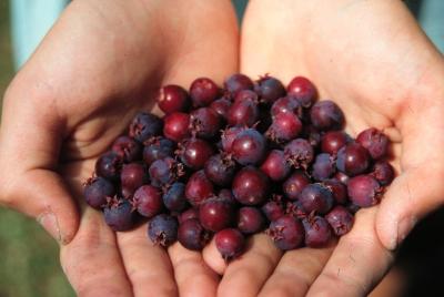 Secret Berries Cherries For All Amp Weeds